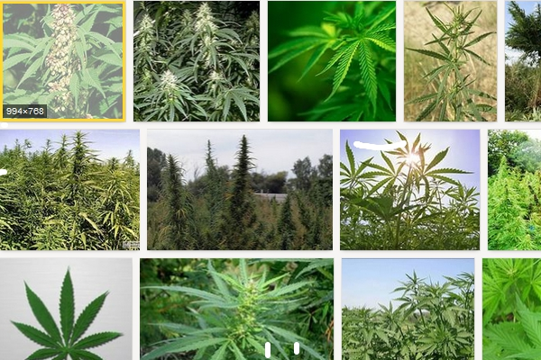 State Duma May Implement Criminal Penalty for Cannabis Images